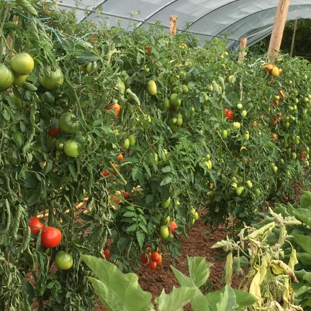 Tomates Jardin De Terrou©jcv.jpeg