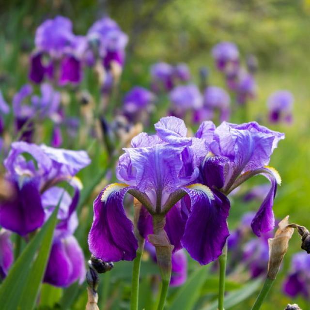 Iris à Concots