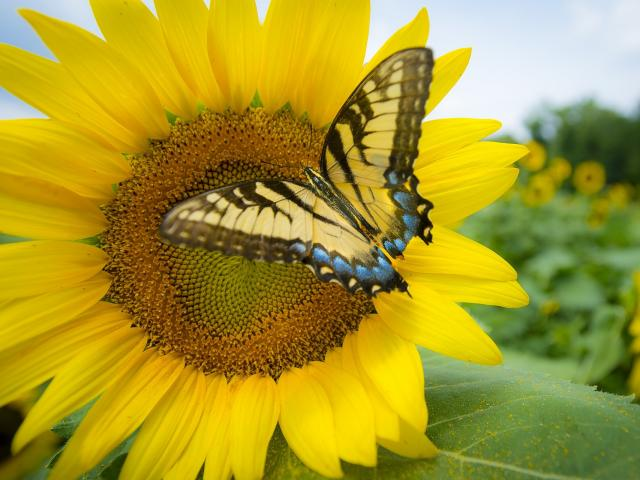 sunflower-3737776-1920.jpg