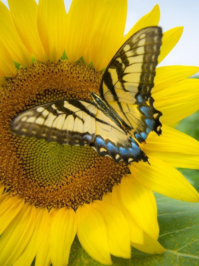 sunflower-3737776-1920.jpg
