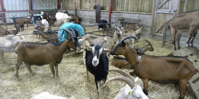 Chèvres - Chèvrerie De La Forêt D'eu