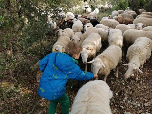 Troupeau Mouton Plateau Leucate Enfant