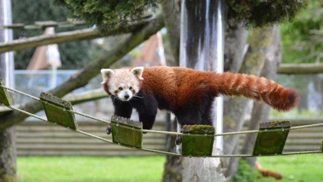 Parc Zoologique Cerza Panda Roux