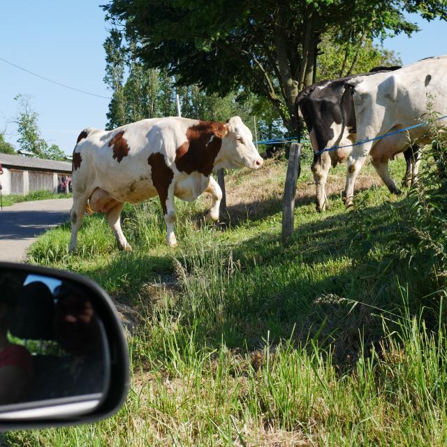 Vaches dans le Ségala