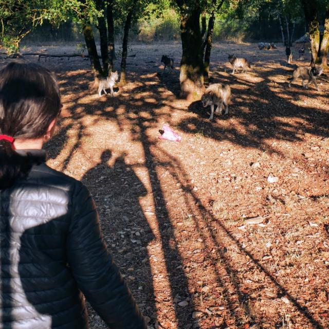 3 Nourrissage Loups P1010476cc Seguy Lot Tourisme