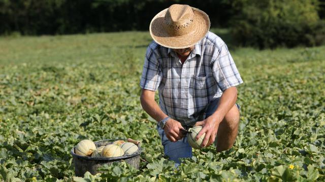 Récolte du melon du Quercy