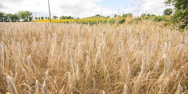Champ de blé à Lascabanes