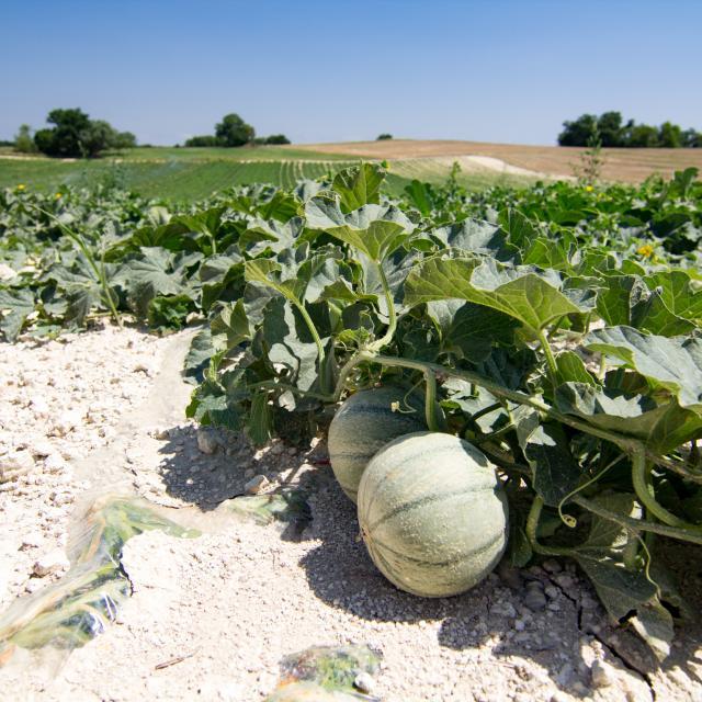 Champ de melons du Quercy à Flaugnac