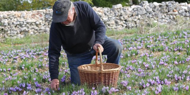 Récolte du Safran du Quercy