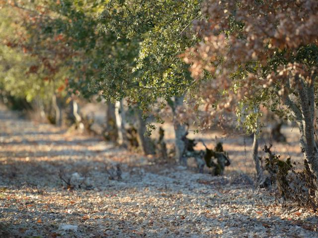 Plants truffiers entre les vignes