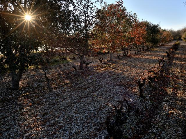 Chênes truffiers et ceps de vignes