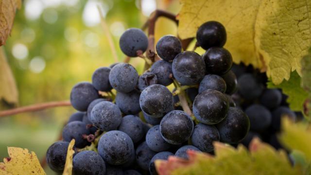 Grappe de raisins à Caillac