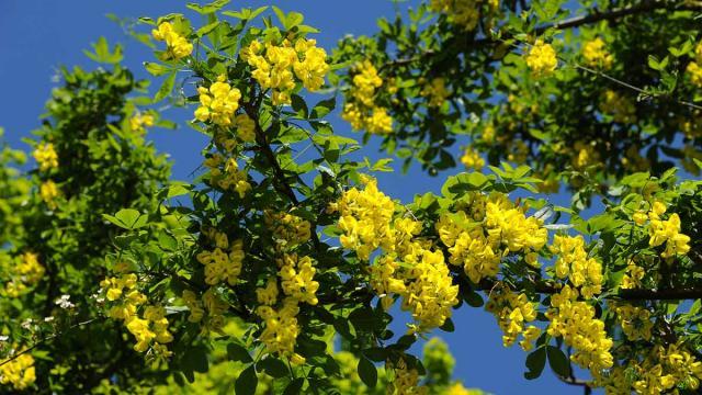 Fleurs Cytise