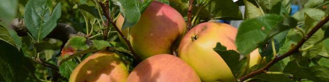Les pommes des Vergers d'Aulaines
