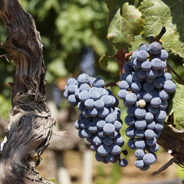 Rraisin Rouge Cèpe Vigne © Kuhpaulinchen Pixabay