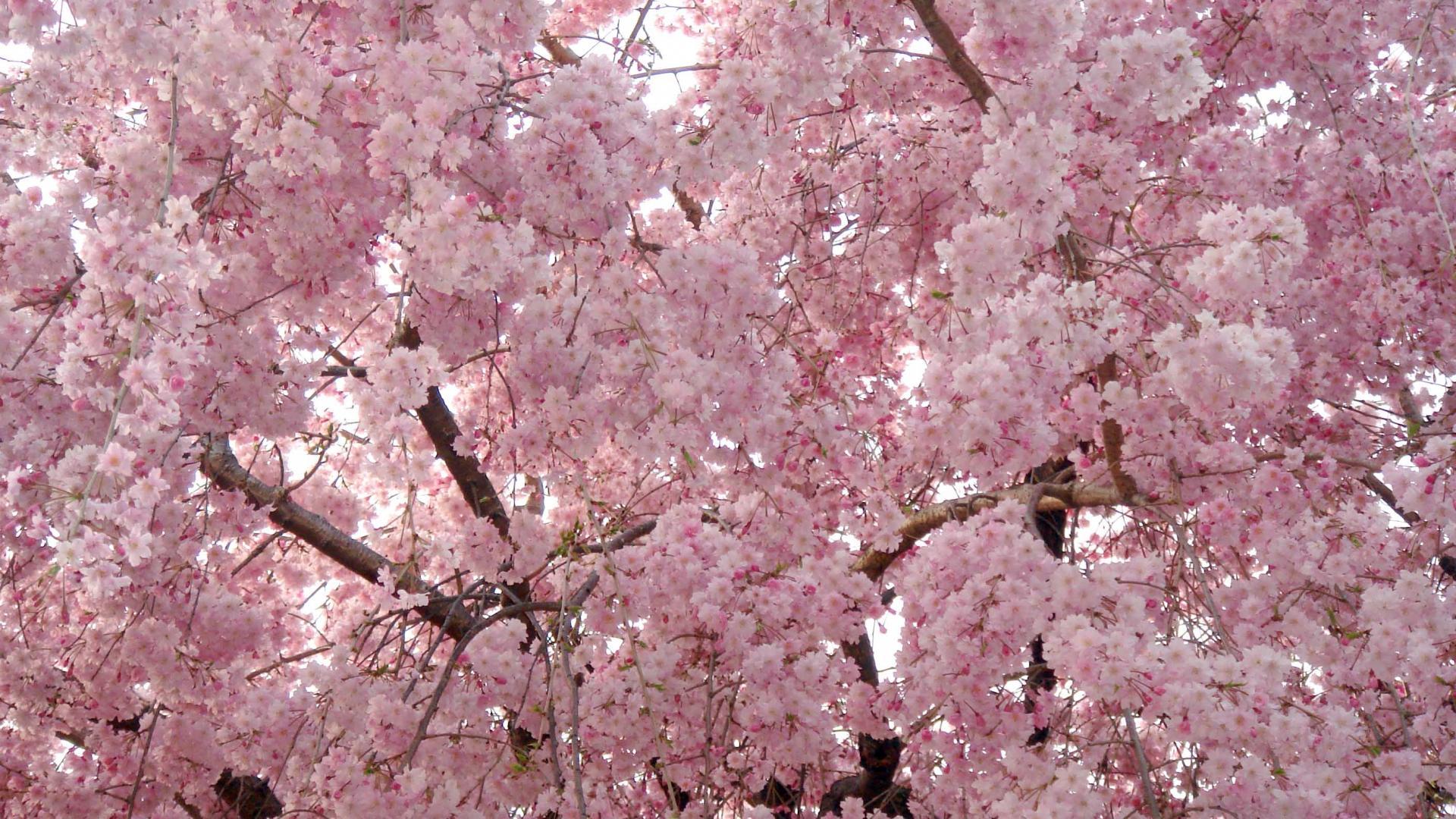 arbre-fleuri-photo-libre-utilisation-diffusion-interdite.jpg