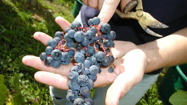 grappe-raisin-madiran-3-otpva.jpg
