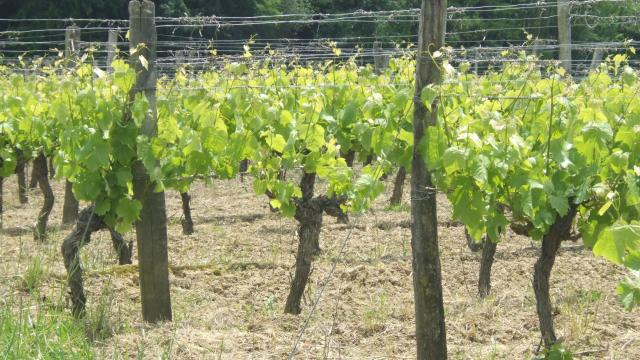 vignes-2-domaine-la-rose.jpg