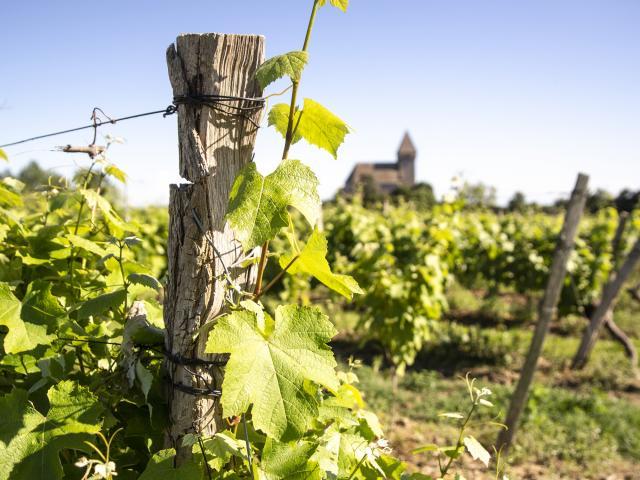 Vignes Saint Mont