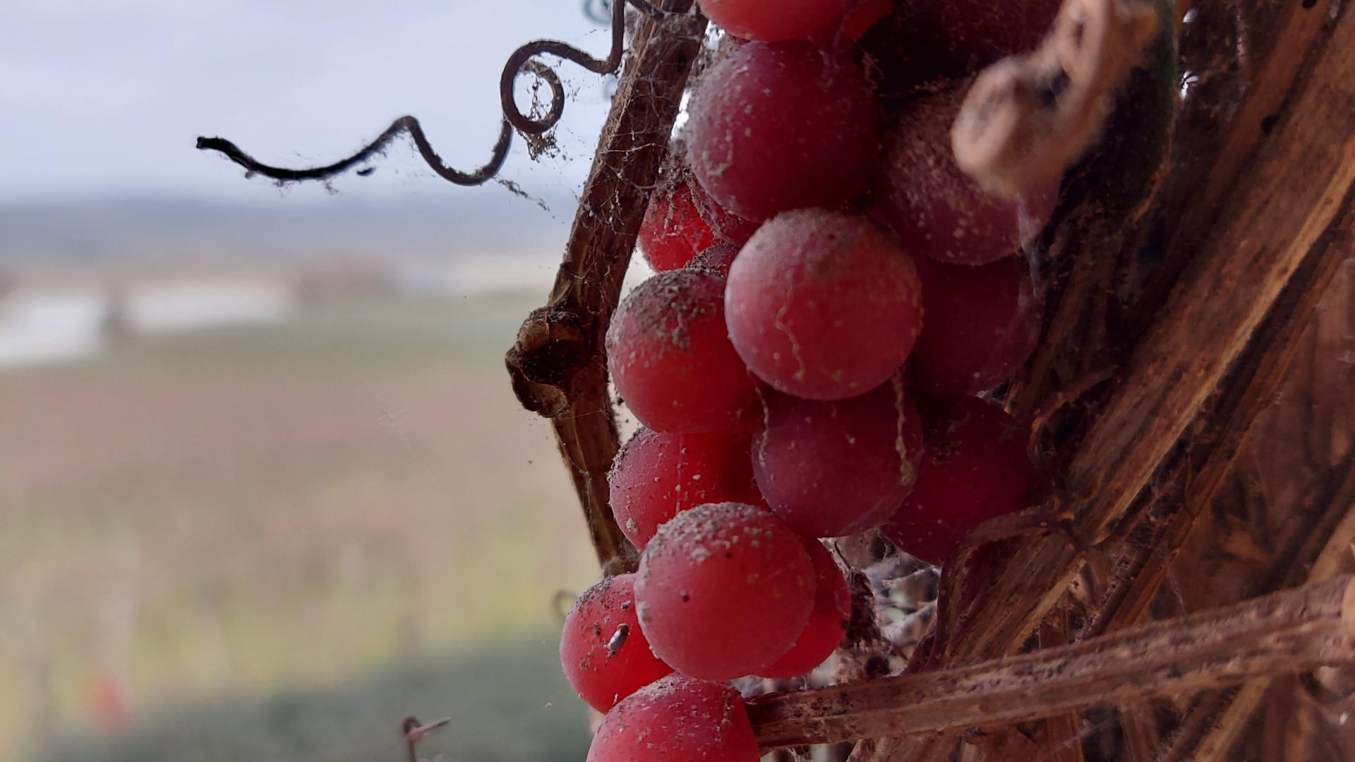 chateau-laffitte-teston-grappe-hiver-cso-ev.jpg