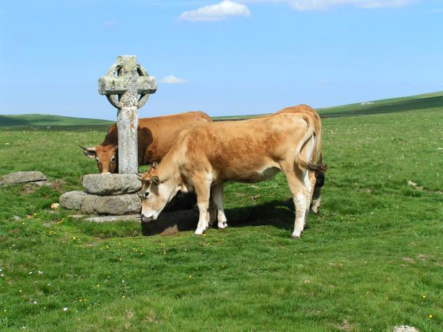 Vache Cx Rhodes J.p.peytavin