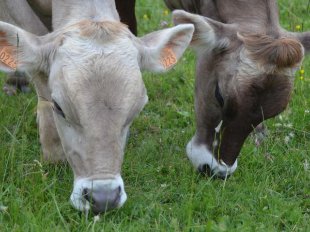 Vaches Brunes Falaises Barjac