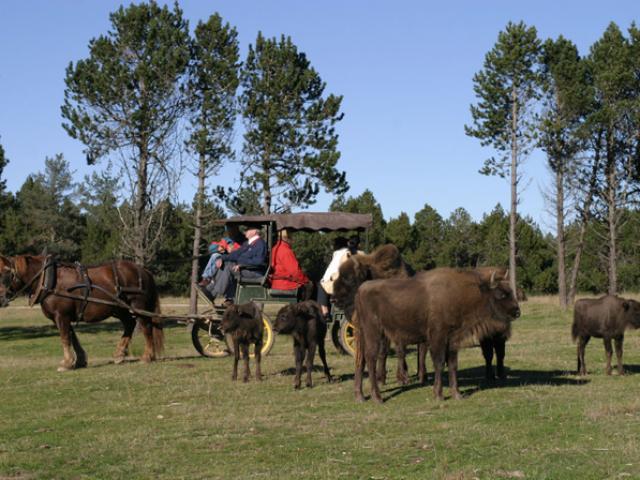 bisons-1.jpg
