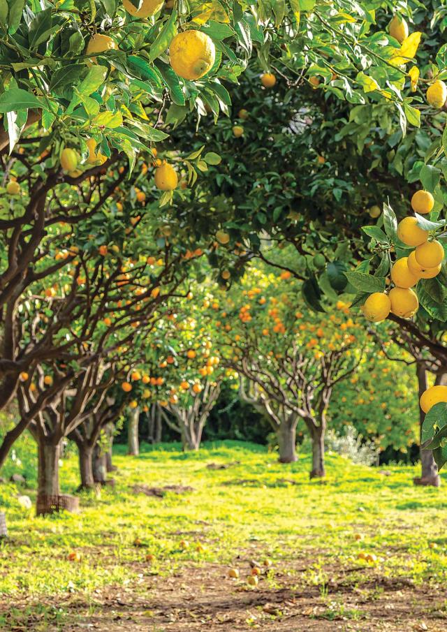 Citron Igp Menton