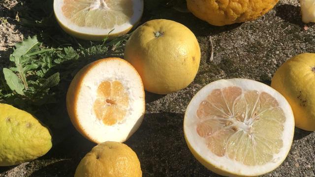 Citrons de Menton
