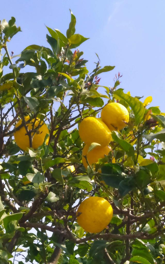 Citronier Menton