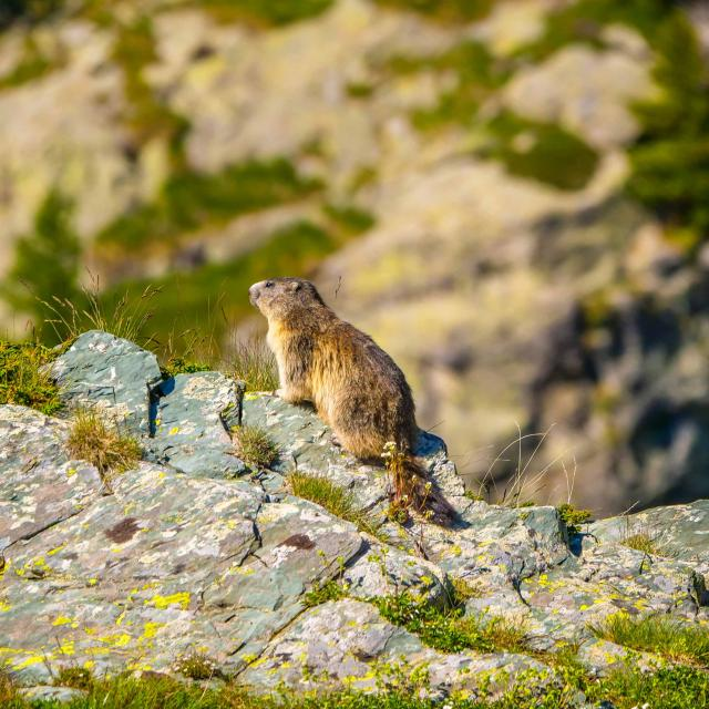 Marmotte Biodiversite Mercantour