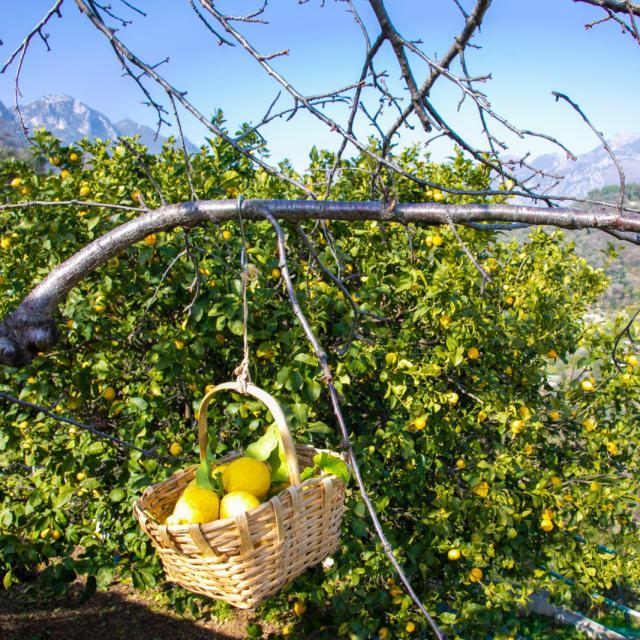 Citron De Menton Panier