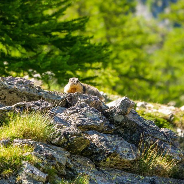 Marmotte Nature Biodiversite Parc National Mercantour