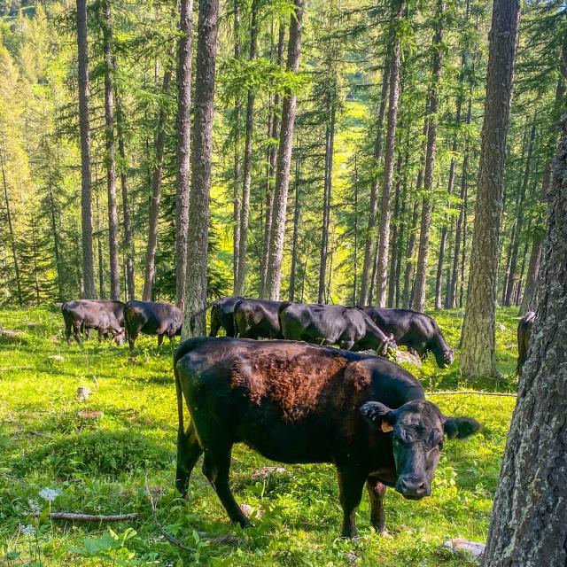 Vaches Parc National Du Mercantour