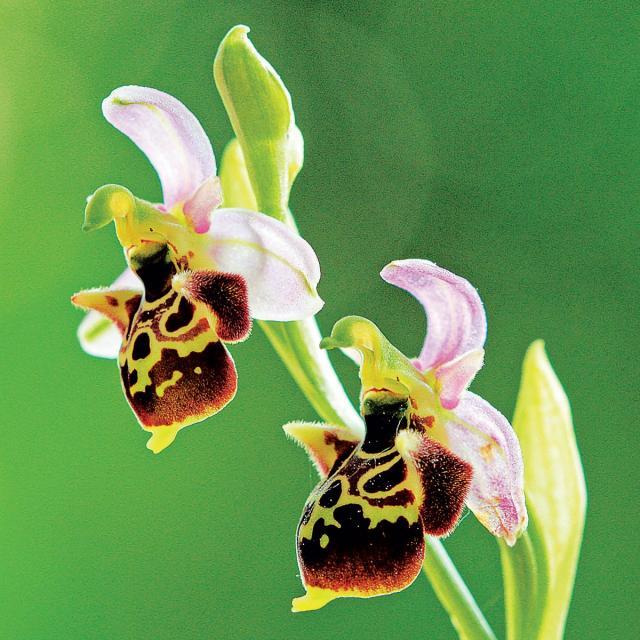 orchidee-natura-2000.jpg