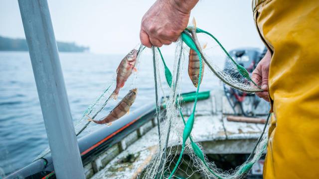 Pêche de perche sur le lac Léman