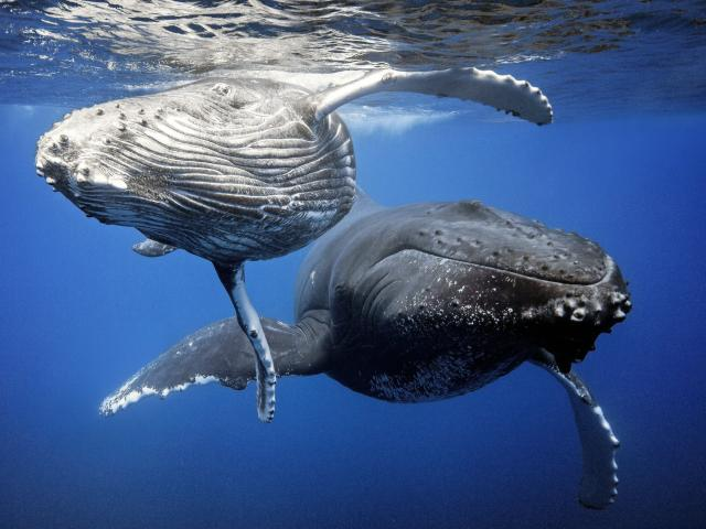 La Baleine Bosse ile des pins nouvelle caledonie