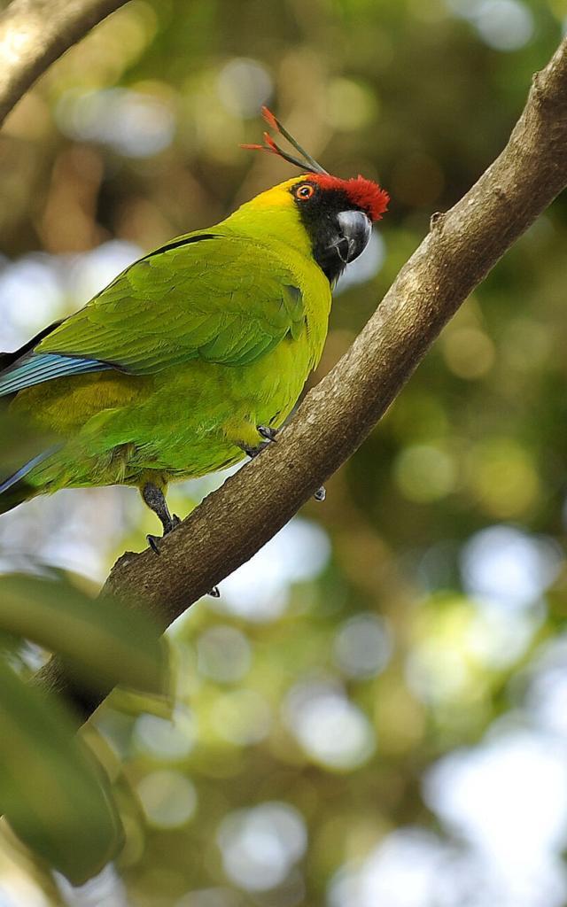 Perruche - Parc Forestier Nouméa