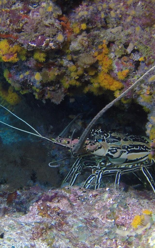 Langouste plongée sous-marine