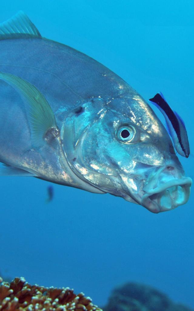 Poisson plongée sous marine - Nouvelle-Calédonie