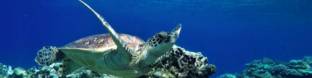 Tortue plongée en Nouvelle-Calédonie Nctps