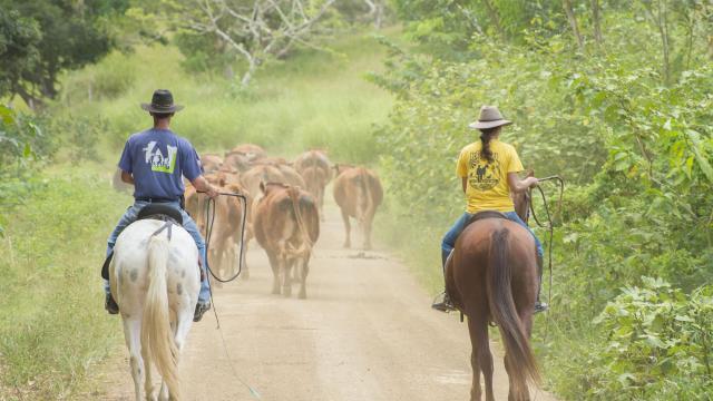 Rentrée de bétail - Bourail