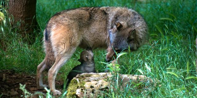 loup-louveteau-1-parc-animalier-gramat.jpg