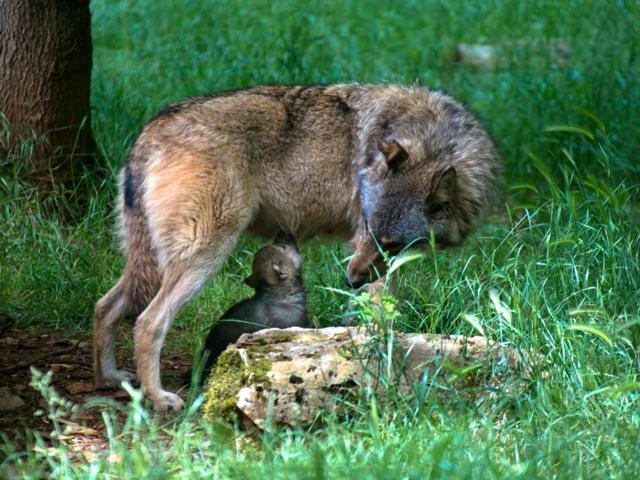 Loup Louveteau 1 Parc Animalier Gramat