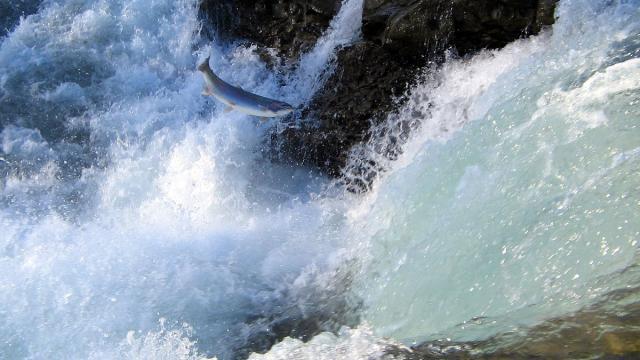 1200px Jumping Salmon.jpg