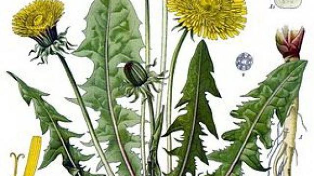 290px Taraxacum Officinale Kohler S Medizinal Pflanzen 135.jpg