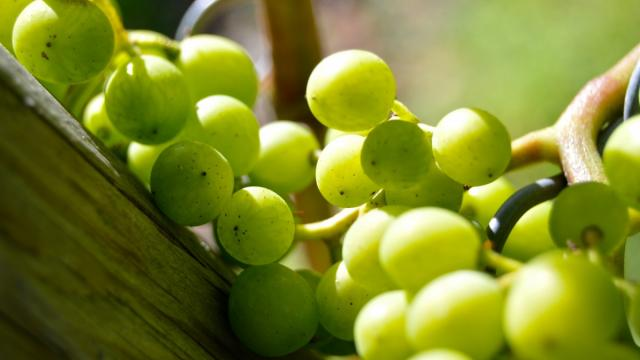 Grapes Henkel Grape Close Vine Vineyard Grapevine Green 537618.jpg