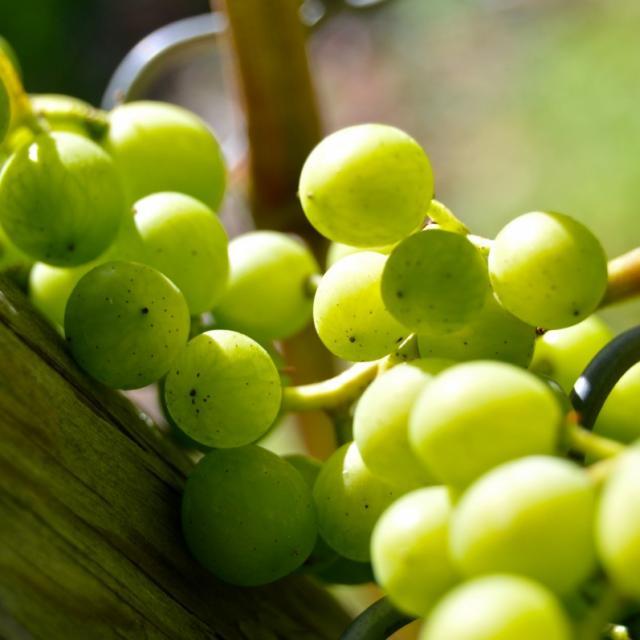 Grapes Henkel Grape Close Vine Vineyard Grapevine Green 537618.jpg