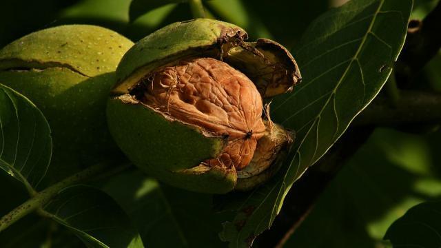 Juglans Regia Echte Walnussfrucht 3.jpg