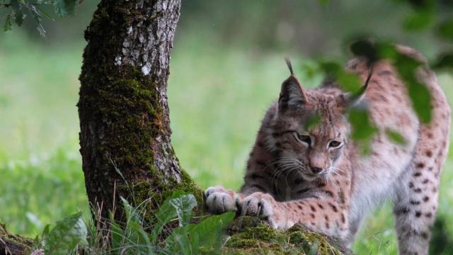 Lynx Parc Animalier De Gramat